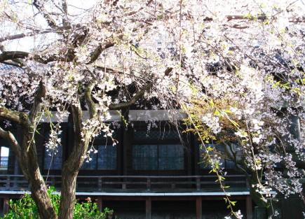 境内の桜が美しいです。